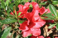 BLOOM-A-THON(R) RED AZALEA PP21562