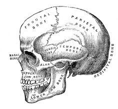 halloween+skull+vintage+image+graphicsfairy3.jpg (1600×1482)