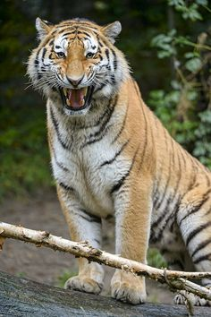 Lailek not so happy by Tambako the Jaguar on Flickr.