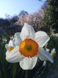 A narcissus in bloom at Sharpham Trust.  Spring 2015  Pin us at www.pinterest.com/sharphamtrust   Like Sharpham Trust at www.facebook.com/SharphamTrust  Follow us @SharphamTrust   Visit us at www.sharphamtrust.org