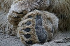 Bear Paws by Travis Gertz on Creative Photography, Animal Photography, Animal Magic, San Diego Zoo, Bear Paws, Nature Animals, Cute Animals, Puppies, Portrait
