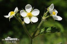 Jahodník truskavec (Fragaria moschata)