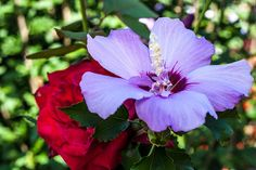 Hibiscus and Rose