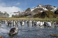 A southern elephant seal pup surrounded by penguins
