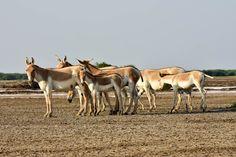Indian wild asses (Equus hemionus khur) in Little Rann of Kutch. ©Marc & Peggy Faucher