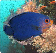 Dwarf Angelfish (Angel Fish)