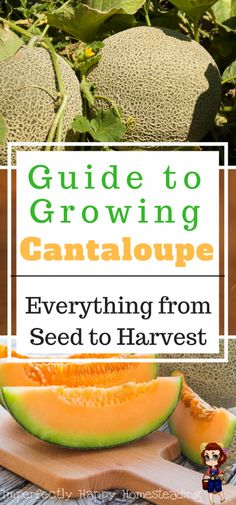 Growing Cantaloupe - a guide for your garden. Everything you need to know from seed to harvest.