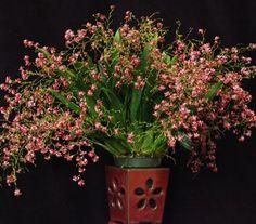 oncidium twinkle pink profusion | K585 Oncidium Twinkle 'Pink Profuson'