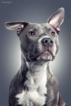 Pitbull Dog Portrait... Lovely gray & white pittie looks ready to jump up and give Pibble Kisses