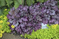 heuchera_blackberry_ice_landscape Top 10 Flowers That Bloom all Year Purple Coralbells Landscaping Plants, Front Yard Landscaping, Garden Plants, Garden Shade, Landscaping Ideas, Types Of Flowers, Purple Flowers, Top Flowers, Flower Colors