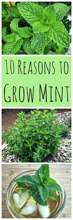 Don't be afraid to grow mint! Mint has so many wonderful uses and can be grown without fear of taking over your garden.