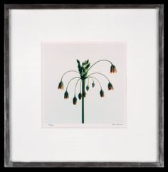 Lord Snowdon | Alium | Limited Edition Photograph | 10 x 8 inches Princess Margaret, Allium, Unique Flowers, King George, Boudoir, Small Spaces, Photographs, Lord, Artist