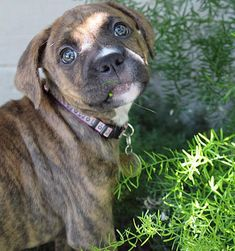 Penny the Boxer Mix