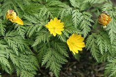 Adonis amurensis - Vinteradonis i marts med gule blomster og bregneagtige blade. Foto: Karna Maj  I naturen er det en skovplante, og den klarer sig også bedst i en god, humusholdig jord. I en sådan jord kan den rigtig udvikle sine kraftige rødder, som er dybtgående. God forårsbebuder og klarer sig fint under buske og træer og kan udvikle sig og blive flot og tæt, hvis den får fred til at udvikle sig, og når den så står med flere blomster, er den glimrende for de første insekter.