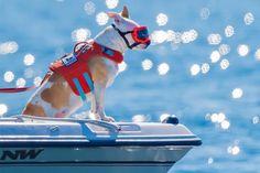 Eba, a cadela que fareja excrementos de baleias assassinas e ajuda a salvá-las da extinção - GreenMe Brasil Orcas, The Perfect Dog, Killer Whales, Rescue Dogs, Conservation, Cute Animals, Helping Dogs, University Of Washington, Marine Biology
