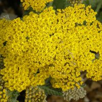 Achillea 'Anthea' Yellow Perennials, Achillea, Garden Shop, Flowers, Plants, Garden, Bonito, Plant, Royal Icing Flowers