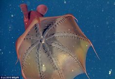 Vampyroteuthis infernalis (vampire squid from hell) - Researchers discovered that vampire squids do not eat live prey, but bits of organic debris that sink to the ocean surface, where there is almost no oxygen but relatively few predators.