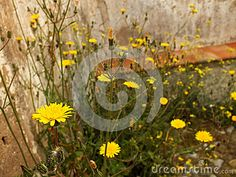 Wild flowers stone wall ancient ruins