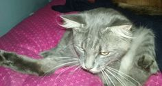 Lost Cat   Name: duncan :: Domestic Medium Hair    New Milford, CT, United States 06776 on December 04, 2016 (21:00 PM)  				Flyer	Share Submit  Contact      See on Map    	 HeLP ID: 1460046 Gender: Male   Age: Young Weight: Medium   Hair: Medium Color: Grey Markings: N/A Spayed/Neutered: No Wearing ID Tag: No Medical: N/A