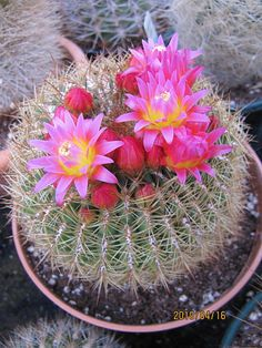 Pink cactus flowers | Flickr - Photo Sharing!