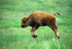 Cucciolo di bisonte!!
