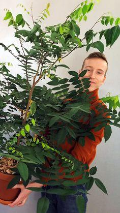 Hedelmien siemenistä huonekasveja | Meillä kotona House Plants, Mango, Garden, Pineapple, Manga, Garten, Indoor House Plants, Foliage Plants, Houseplants