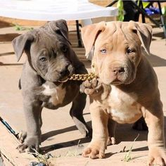These pits are perfect. www.bullymake.com