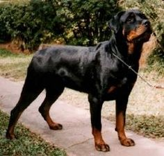 Rottweiler - best dog we ever had was a female rottie.