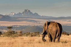 It represents the region around and on Mount Kenya. African Bush Elephant, Mount Kenya, Kilimanjaro, Winding Road, Nairobi, Day Tours, Tourism, Places To Go, Wildlife