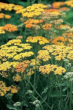 Yarrow.  Achillea 'Terracotta' Yarrow. Yarrow.  achillée jaune.  Order:  Asterales.    Family: Asteraceae.   Genus: Achillea