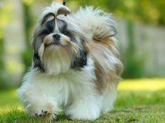Shih Tzu Dog Breed: Everything You Need To Know Shih Tzu Hund, Perro Shih Tzu, Shih Tzu Dog, Shih Tzus, Yorkie, Bullmastiff, Weimaraner, Elle Woods, Lhasa Apso