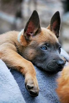 Belgium Malinois Puppy