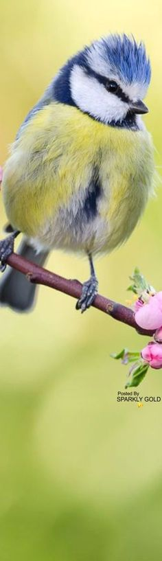 Ansichtskarte Buchfink auf einem Blütenzweig