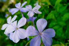I uploaded new artwork to fineartamerica.com! - 'Little Blue Flower Of Cape Leadwort' - http://fineartamerica.com/featured/little-blue-flower-of-cape-leadwort-lanjee-chee.html