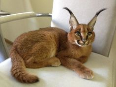 The caracal  (Caracal caracal), also known as the desert lynx, is a wild cat that is widely distributed across Africa, central Asia and southwest Asia into India.