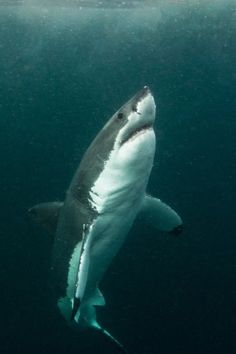 wolverxne: Great White shark in low visbility ~ by: (Morne Hardenberg) … Shark Pictures, Animal Pictures, Shark Photos, Orcas, Beautiful Creatures, Animals Beautiful, Shark Bait, Great White Shark, Mundo Animal