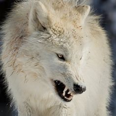 White Wolf : 10 pictures of growling wolves that will awaken your alpha side.