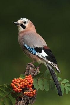 Skovskade - A jay, member of the crow family Beautiful Creatures, Animals Beautiful, Cute Animals, Cute Birds, Pretty Birds, Exotic Birds, Colorful Birds, Most Beautiful Birds, Bird Pictures
