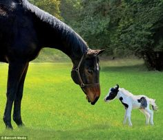 Einstein lives on a farm in New Hampshire, he was purchased from well known mini horse breeder Judy Smith. Most miniature horses are 18 pounds at birth. Einstein is the smallest foal to survive. He has no dwarf characteristics, so he is just a small version of a large horse.