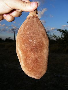 Fruit of Baobab Tree
