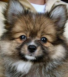 Are you a fan of the precious Pomeranian? Check out this collection of Pomeranian mixed breeds - these perfect Pomis will be sure to melt your heart! Toy Pomeranian Puppies, Siberian Husky Puppies, Cute Puppies, Dogs And Puppies, Pomeranians, Corgi Puppies, Siberian Huskies, Doggies, Short Hairstyles