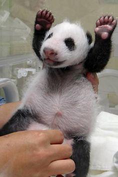 Filhote de panda recebe cuidados de um tratador no zoológico de Taipé, em Taiwan. Foto: AFP