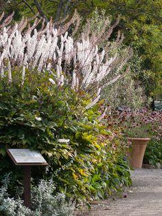 Ormedrue, to meter høye høstspir - Moseplassen Planters, Gardening, Pictures, Lawn And Garden, Plant, Window Boxes, Pot Holders, Horticulture, Flower Planters