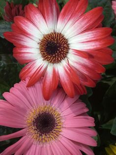 Gerbera, es un género de plantas ornamentales de la familia Asteraceae. Comprende unas 150 especies descritas y de estas, solo 38 aceptadas. Originaria de África, es muy popular por sus hermosas flores. Fuente: Wikipedia.