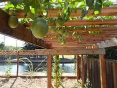 trellising grapes with hardy kiwi - Google Search