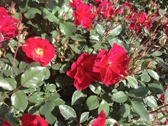 Image result for miracle on the hudson rose what shade of red
