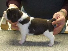 Springer Spaniel puppy practicing to be a show doggie how cute!!!