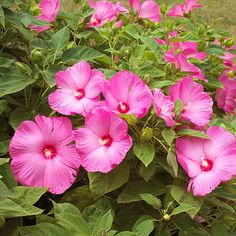 Perennial Hibiscus Offering flowers all summer long in shades of red, pink, and white, individual blooms can be as much as 12 inches across and keep on coming all the way through fall. Plant Name: Hibiscus moscheutos Zones: . Hibiscus Plant, Hibiscus Flowers, Tropical Flowers, Colorful Flowers, Pink Flowers, Growing Hibiscus, Hibiscus Garden, Glowing Flowers, Lilies Flowers