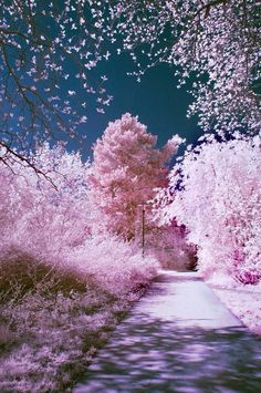 Sakura Blossom - Japan