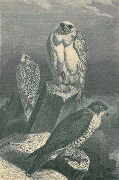 1883 Antique Falcon Print Gyrfalcon Illustration by carambas, $16.00